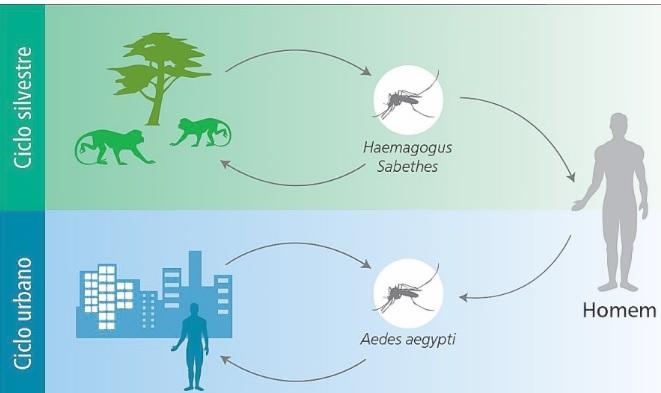 Ciclo de transmissão do vírus da Febre Amarela